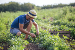 Farmer harvesting fresh crop of parsley on the field at organic eco farm. Young farmer in hat harvesting fresh crop of parsley by knife and putting it in wood Stock Image