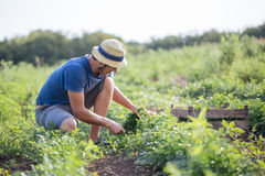 Farmer harvesting fresh crop of parsley on the field at organic eco farm. Young farmer in hat harvesting fresh crop of parsley by knife and putting it in wood Stock Photo