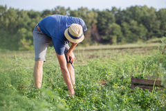 Farmer harvesting fresh crop of parsley on the field at organic eco farm. Young farmer in hat harvesting fresh crop of parsley by knife and putting it in wood Royalty Free Stock Image