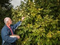 Farmer harvesting fresh hazelnuts stock photos