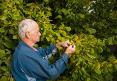 Farmer harvesting fresh hazelnuts stock photography