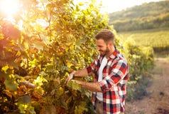 Farmer harvesting the grapes. In vineyard Stock Images