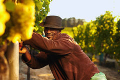 Farmer harvesting grapes in vineyard Royalty Free Stock Images