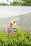 Farmer harvesting Holy Basil or Sacred Basil in the greenhouse. Local greenhouse is preventing the spread of Pest insects. Thailand. Summer season. Soft stock images