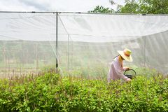 Farmer harvesting Holy Basil or Sacred Basil in the greenhouse. Local greenhouse is preventing the spread of Pest insects. Thailand. Summer season. Soft royalty free stock photos