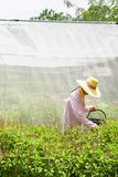 Farmer harvesting Holy Basil or Sacred Basil in the greenhouse. Local greenhouse is preventing the spread of Pest insects. Thailand. Summer season. Soft stock photo