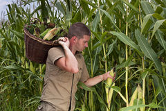 Farmer harvesting maize Royalty Free Stock Photo