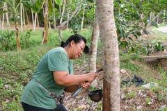 Farmer harvesting natural latex Stock Images