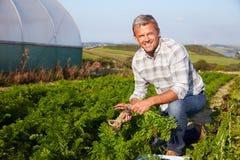 Farmer Harvesting Organic Carrot Crop On Farm Stock Photography