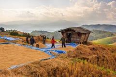 Farmer is harvesting original jasmine paddy rice Royalty Free Stock Photos