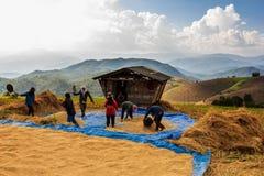 Farmer is harvesting original jasmine paddy rice Stock Photo