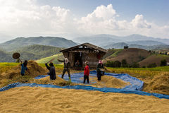 Farmer is harvesting original jasmine paddy rice Stock Image