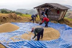 Farmer is harvesting original jasmine paddy rice Stock Photography