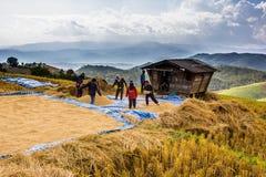 Farmer is harvesting original jasmine paddy rice Stock Images