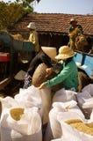 Farmer harvesting paddy grain by threshing machine Royalty Free Stock Images