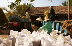 Farmer harvesting paddy grain by threshing machine Royalty Free Stock Photos