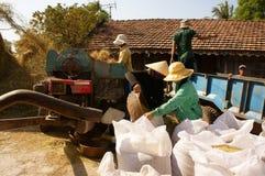 Farmer harvesting paddy grain by threshing machine Stock Photo