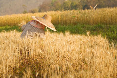 Farmer harvesting paddy Stock Photo
