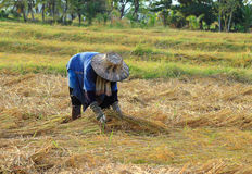 Farmer harvesting rice Royalty Free Stock Image