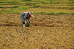 Farmer harvesting rice Stock Image