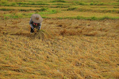 Farmer harvesting rice Royalty Free Stock Photo