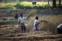 Farmer harvesting rice Royalty Free Stock Images