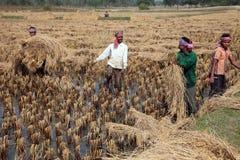 Farmer harvesting rice Stock Images