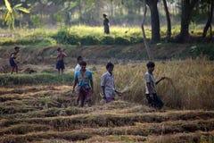 Farmer harvesting rice Stock Photo
