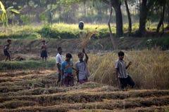 Farmer harvesting rice Royalty Free Stock Photos