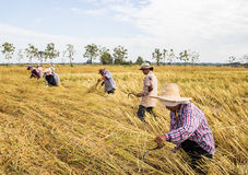 Farmer harvesting from the rice field Royalty Free Stock Photo