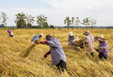 Farmer harvesting from the rice field Stock Images