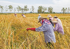 Farmer harvesting from the rice field Stock Photos