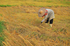 Farmer harvesting rice Stock Photo