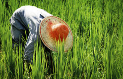 Farmer Harvesting Rice Nature Asian Culture Concept Stock Photos