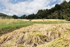 Farmer harvesting rice in paddy field Stock Photography