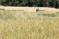 Farmer harvesting rice in paddy field Royalty Free Stock Photos