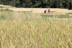 Farmer harvesting rice in paddy field Royalty Free Stock Photo