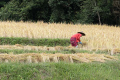 Farmer harvesting rice in paddy field Stock Photos