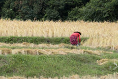 Farmer harvesting rice in paddy field Royalty Free Stock Images