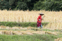 Farmer harvesting rice in paddy field Royalty Free Stock Image