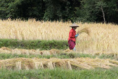 Farmer harvesting rice in paddy field Stock Image