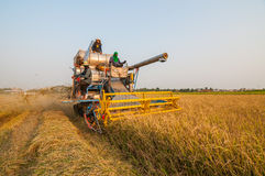 Farmer harvesting rice in paddy field with harvest car Royalty Free Stock Image