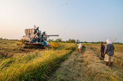 Farmer harvesting rice in paddy field with harvest car Royalty Free Stock Photos