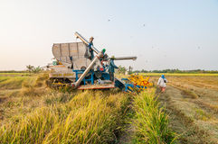 Farmer harvesting rice in paddy field with harvest car. BANGKOK, THAILAND - MARCH 1 : Unidentified farmer harvesting rice in paddy field with harvest car on royalty free stock photos