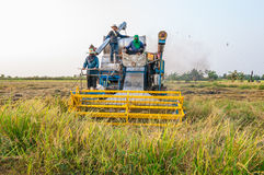 Farmer harvesting rice in paddy field with harvest car Stock Photos