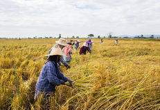 Farmer harvesting rice Stock Photography