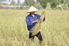 Farmer is harvesting rice plant Stock Images