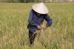 Farmer is harvesting rice plant Royalty Free Stock Photo