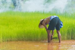 Farmer harvesting rice sprouts to replant in rice farm. Sakonnakhon, Thailand - July 30, 2016: Farmer harvesting rice sprouts from small area farm to replant in Royalty Free Stock Images