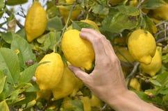 Farmer harvesting ripe lemons Royalty Free Stock Photo